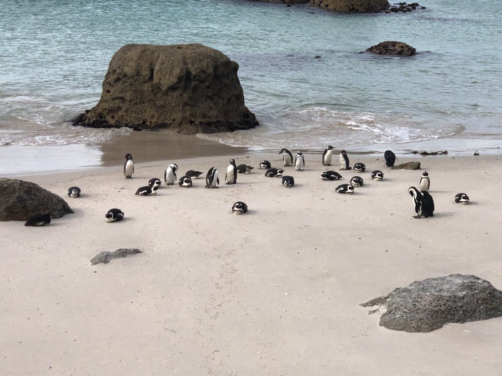 colony of African-penguins